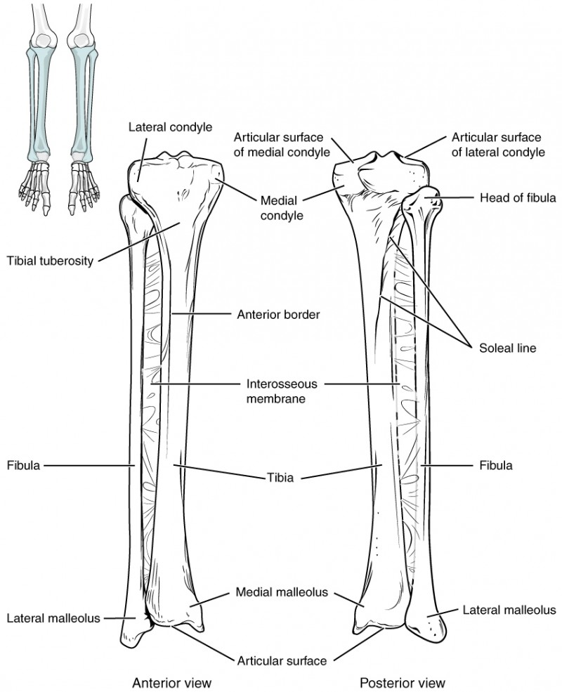 medium resolution of this image shows the structure of the tibia and the fibula the left panel shows