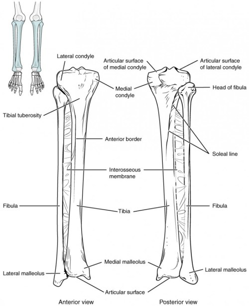 small resolution of this image shows the structure of the tibia and the fibula the left panel shows