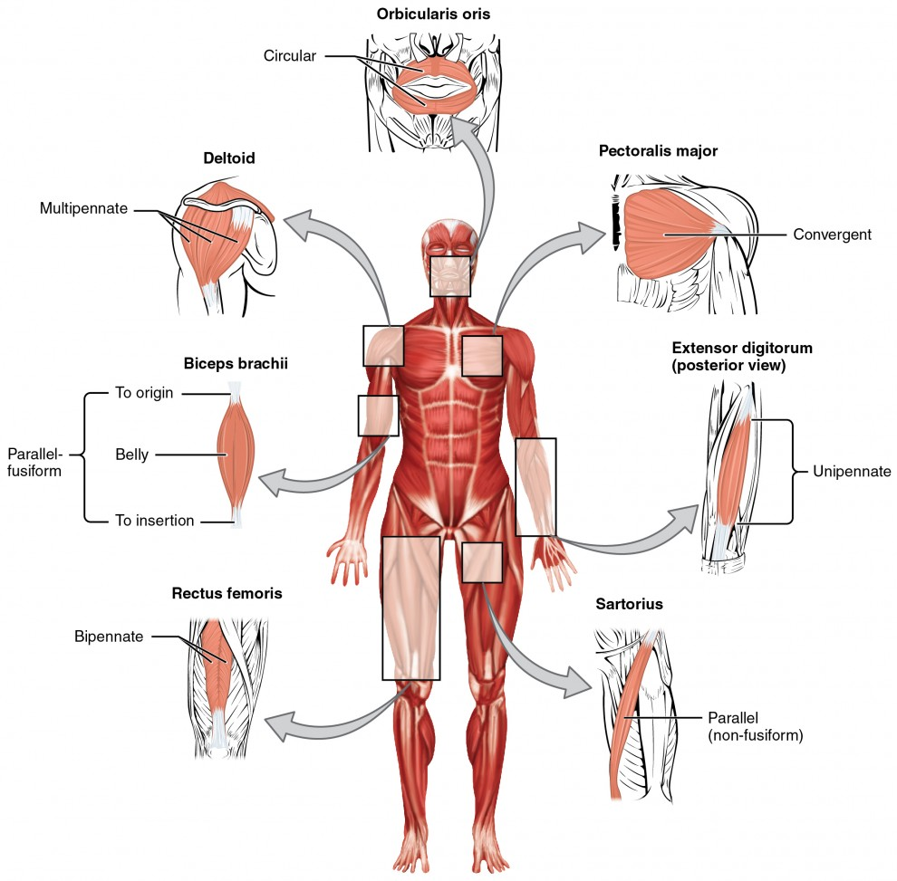 hight resolution of this figure shows the human body with the major muscle groups labeled