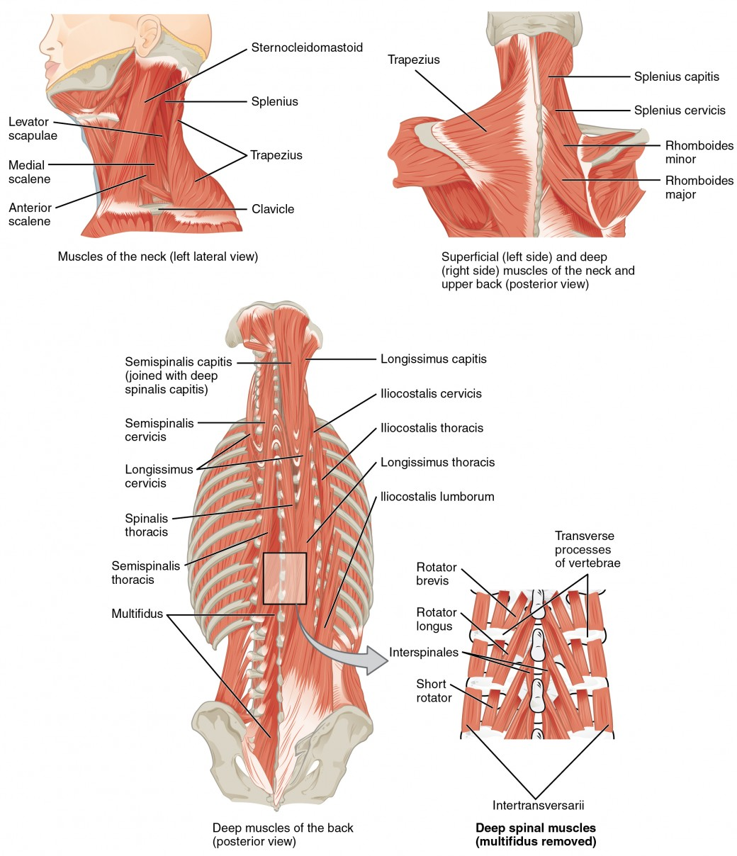 hight resolution of the top left panel shows a lateral view of the muscles of the neck and