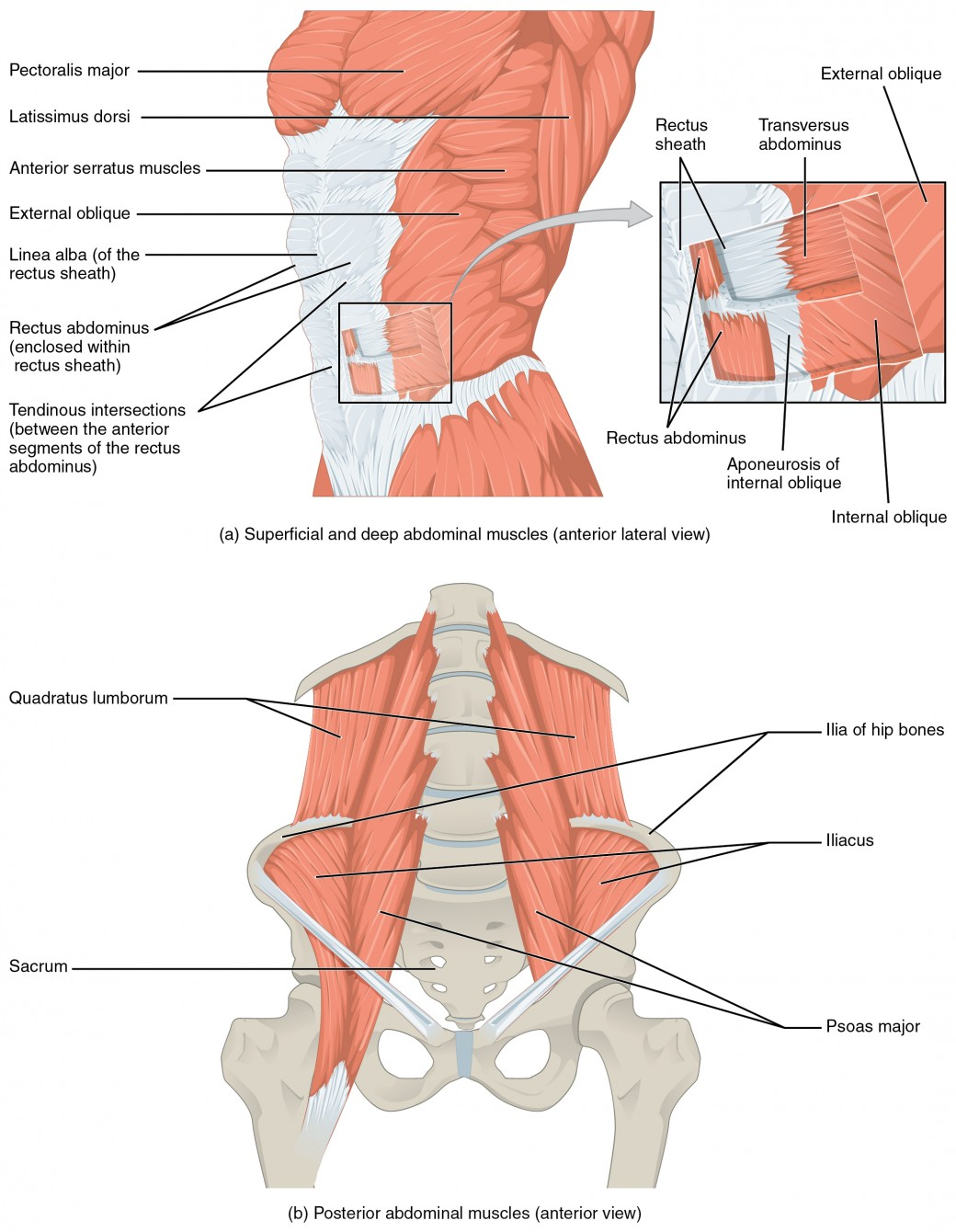 hight resolution of muscles of the abdomen