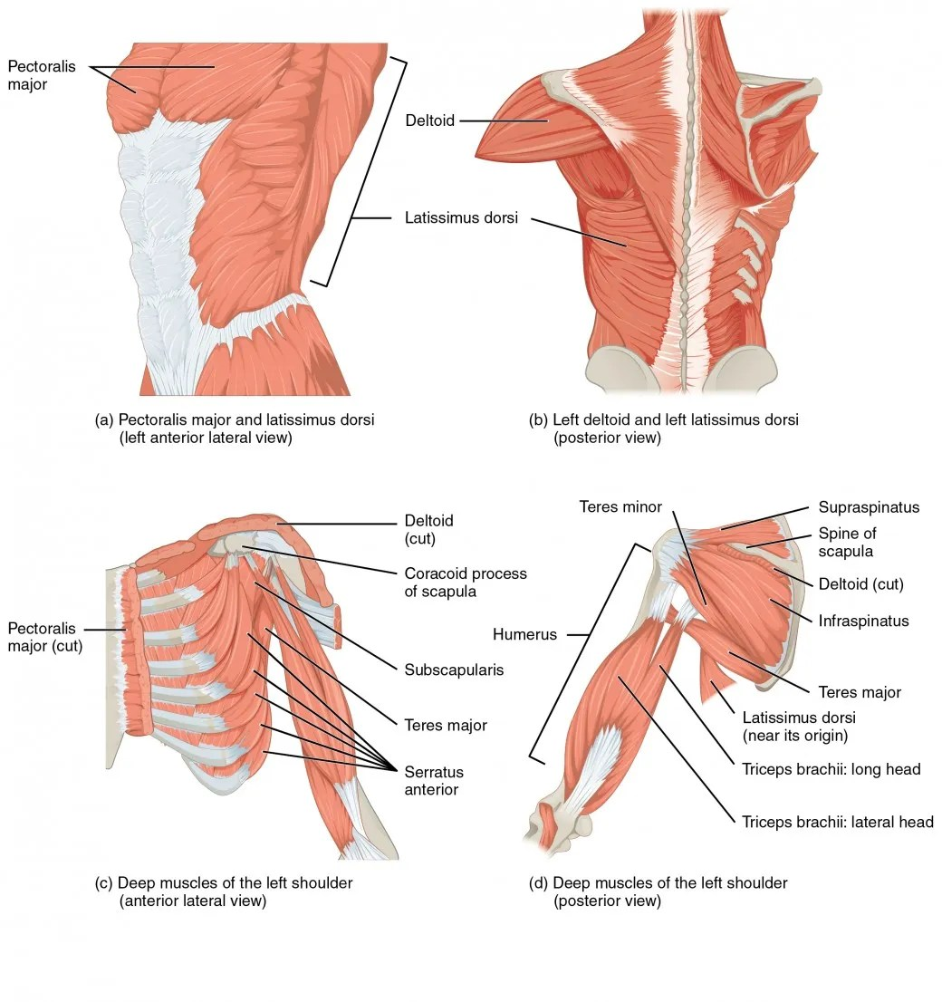 hight resolution of the top left panel shows the lateral view of the pectoral and back muscles the