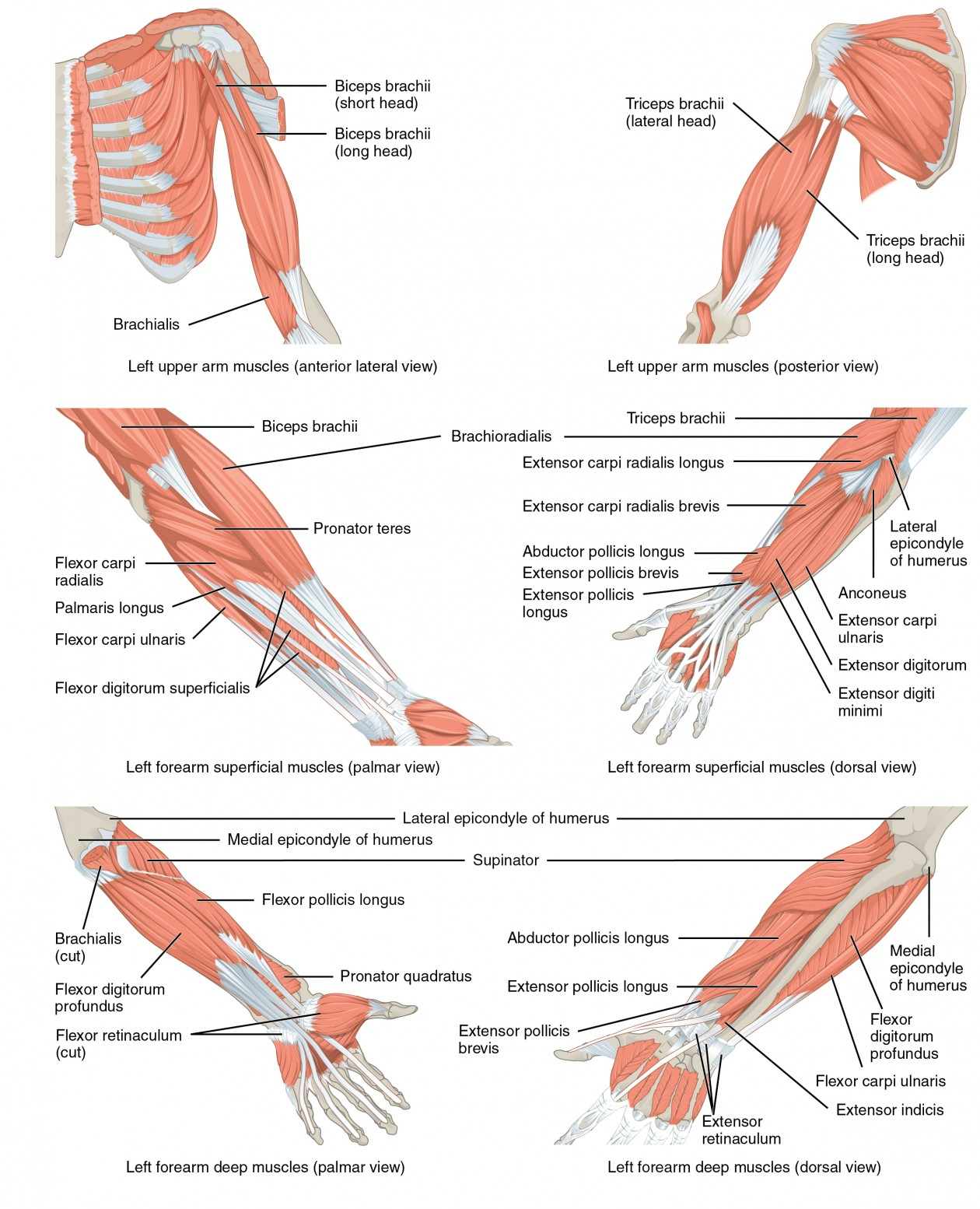 Muscles Of The Pectoral Girdle And Upper Limbs