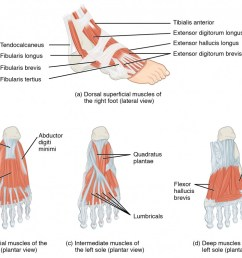 this figure shows the muscles of the foot the top panel shows the lateral view [ 1040 x 794 Pixel ]