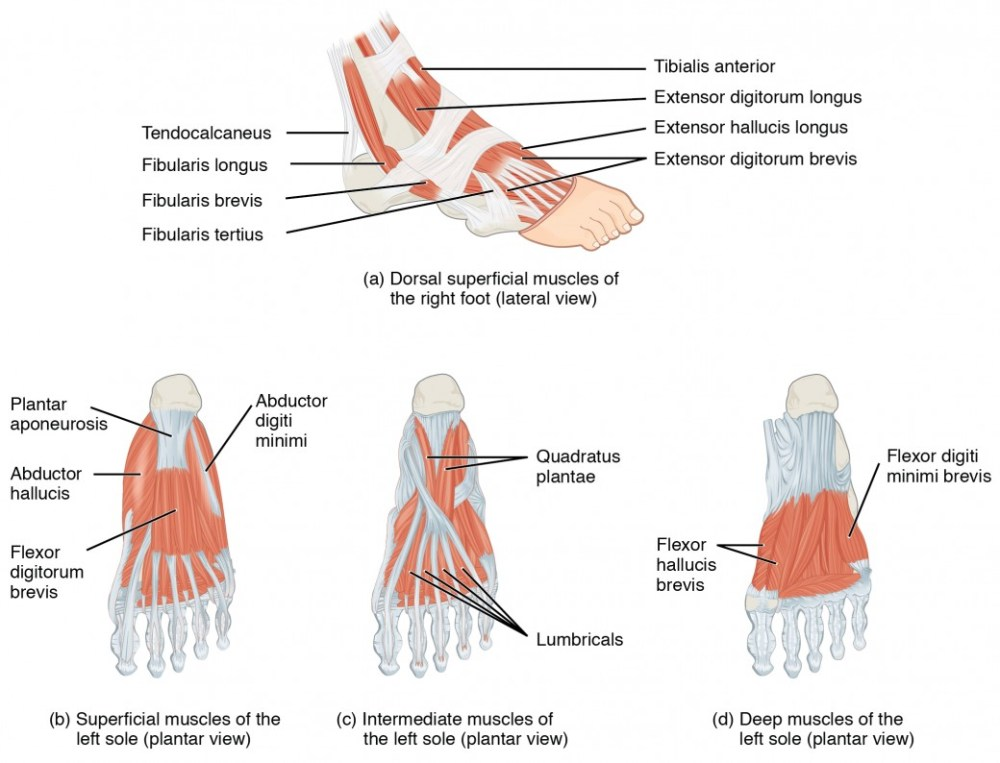 medium resolution of this figure shows the muscles of the foot the top panel shows the lateral view