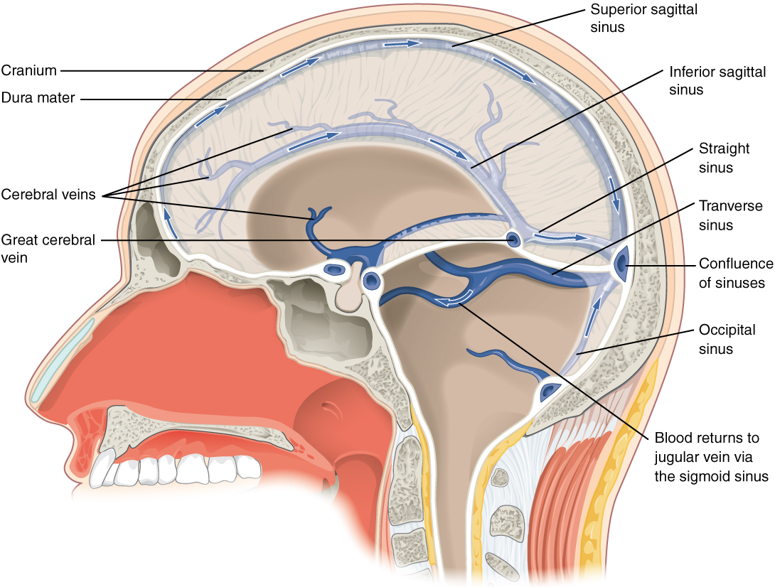 hight resolution of this diagram shows a lateral view of the brain and labels the location of the different
