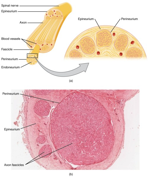 small resolution of this figure shows the structure of a nerve the top panel shows the cross section