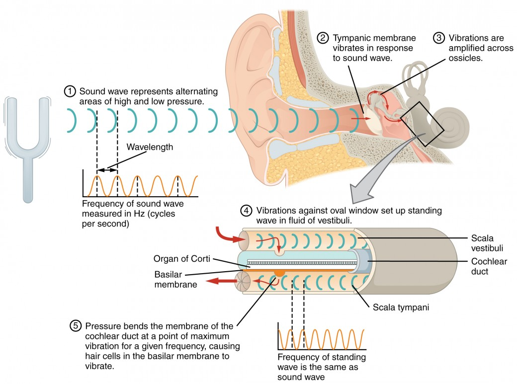 hight resolution of this diagram shows how sound waves travel through the ear and each step details the