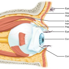 Parts Of The Eyelid Diagram Porsche 911 Radio Wiring Vision Anatomy And Physiology I This Shows Lateral View Eye Major Are Labeled