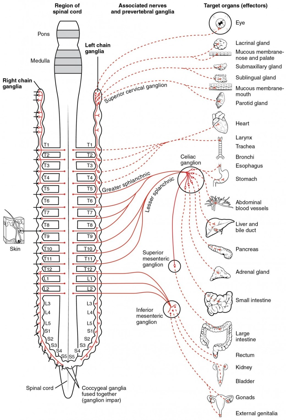 medium resolution of this diagram shows the spinal cord and the connections from the spinal cord to the