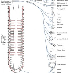 this diagram shows the spinal cord and has different central nerves emerging from it the [ 1040 x 1597 Pixel ]