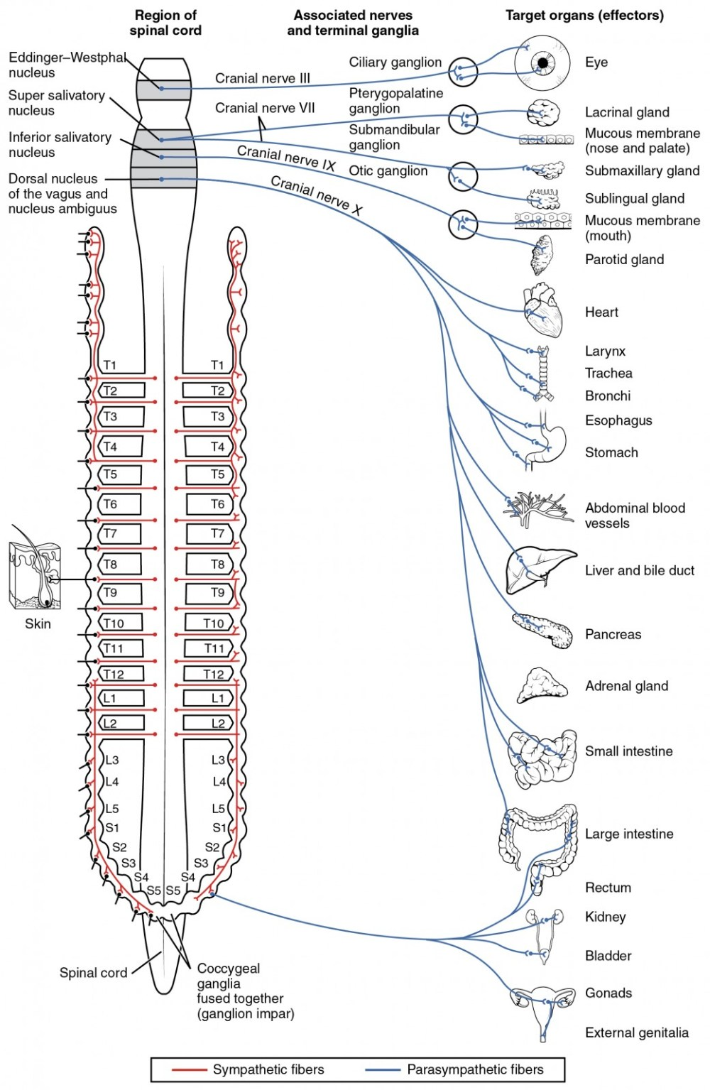medium resolution of this diagram shows the spinal cord and has different central nerves emerging from it the