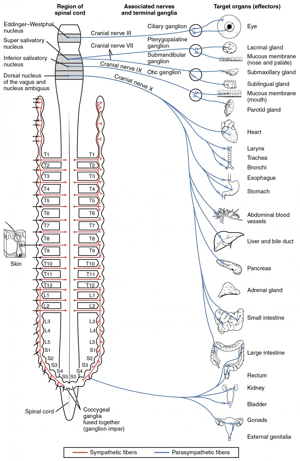 hight resolution of this diagram shows the spinal cord and has different central nerves emerging from it the