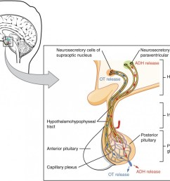 this illustration zooms in on the hypothalamus and the attached pituitary gland the posterior pituitary [ 1040 x 840 Pixel ]