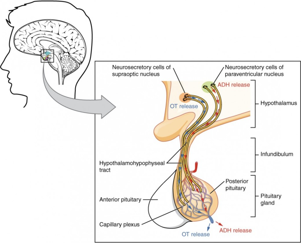 medium resolution of this illustration zooms in on the hypothalamus and the attached pituitary gland the posterior pituitary