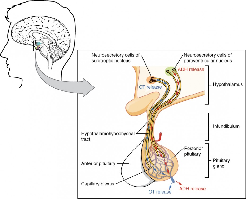 hight resolution of this illustration zooms in on the hypothalamus and the attached pituitary gland the posterior pituitary