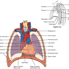 Anterior Heart Diagram Unlabeled Ct Kwh Meter Wiring Anatomy And Physiology Ii This Shows The Location Of In Thorax