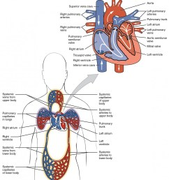 the top panel shows the human heart with the arteries and veins labeled the bottom [ 1040 x 1148 Pixel ]