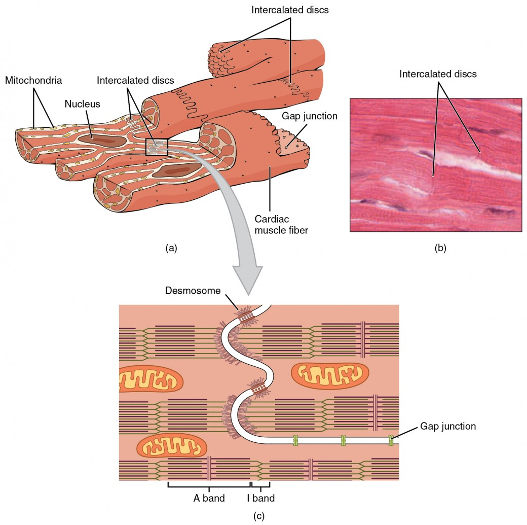 human muscle cell diagram fender p bass wiring cardiac and electrical activity anatomy physiology ii structure of