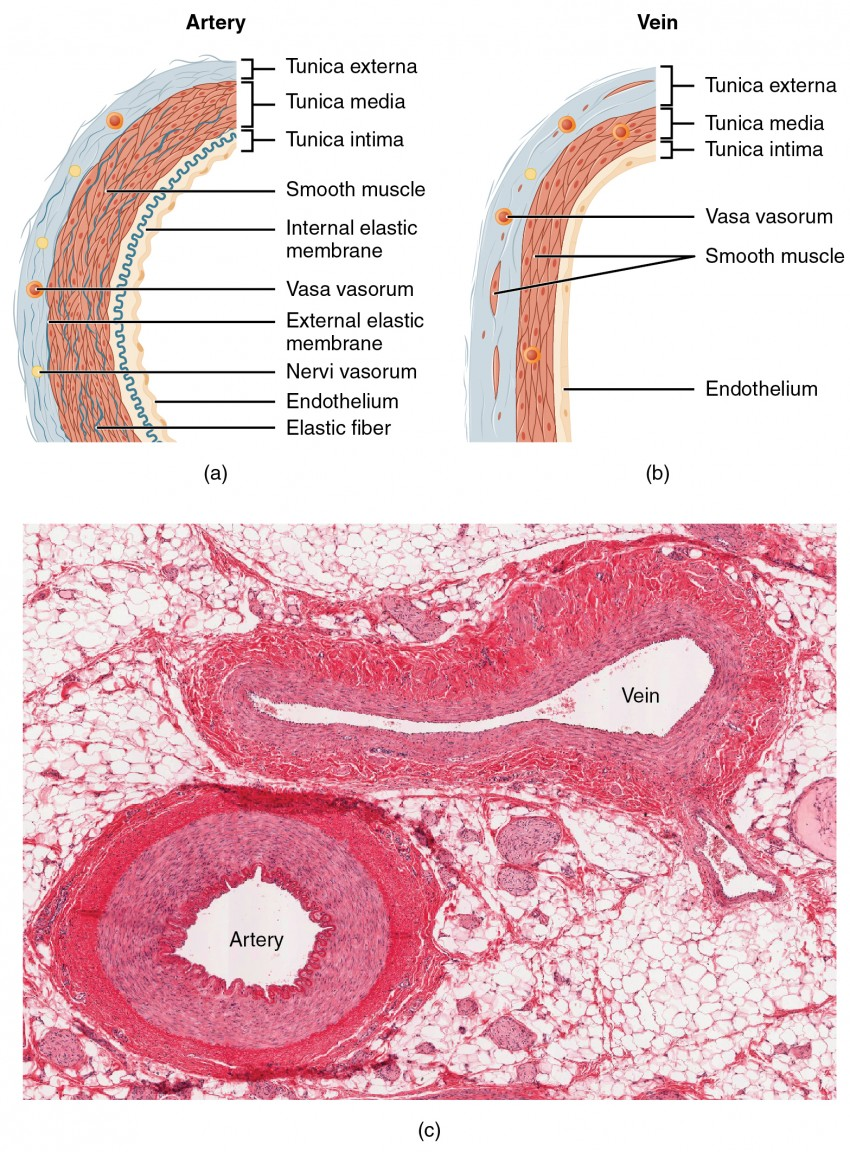 hight resolution of the top left panel of this figure shows the ultrastructure of an artery and the