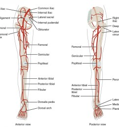 the left panel shows the anterior view of arteries in the legs and the right figure 11  [ 1000 x 885 Pixel ]