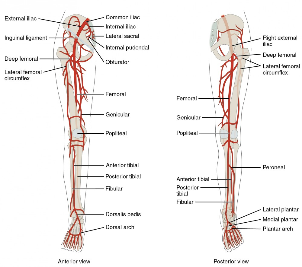 hight resolution of the left panel shows the anterior view of arteries in the legs and the right