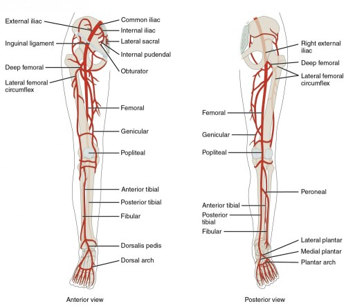 small resolution of the left panel shows the anterior view of arteries in the legs and the right