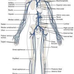 Major Muscle Diagram To Label Led Strobe Light Circuit Circulatory Pathways Anatomy And Physiology Ii This Shows The Veins In Human Body
