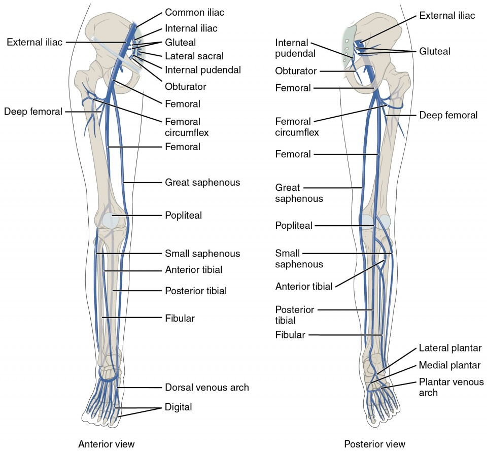 hight resolution of the left panel shows the anterior view of veins in the legs and the right