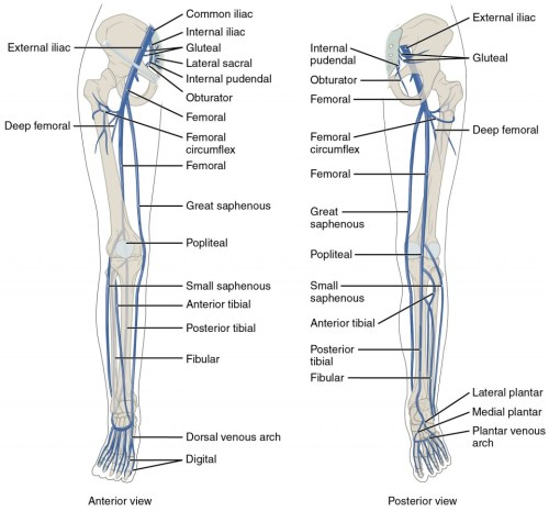 small resolution of the left panel shows the anterior view of veins in the legs and the right