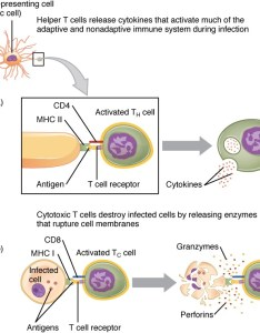 This figure shows the different steps in processing an extracellular pathogen also adaptive immune response  lymphocytes and their functional rh coursesmenlearning