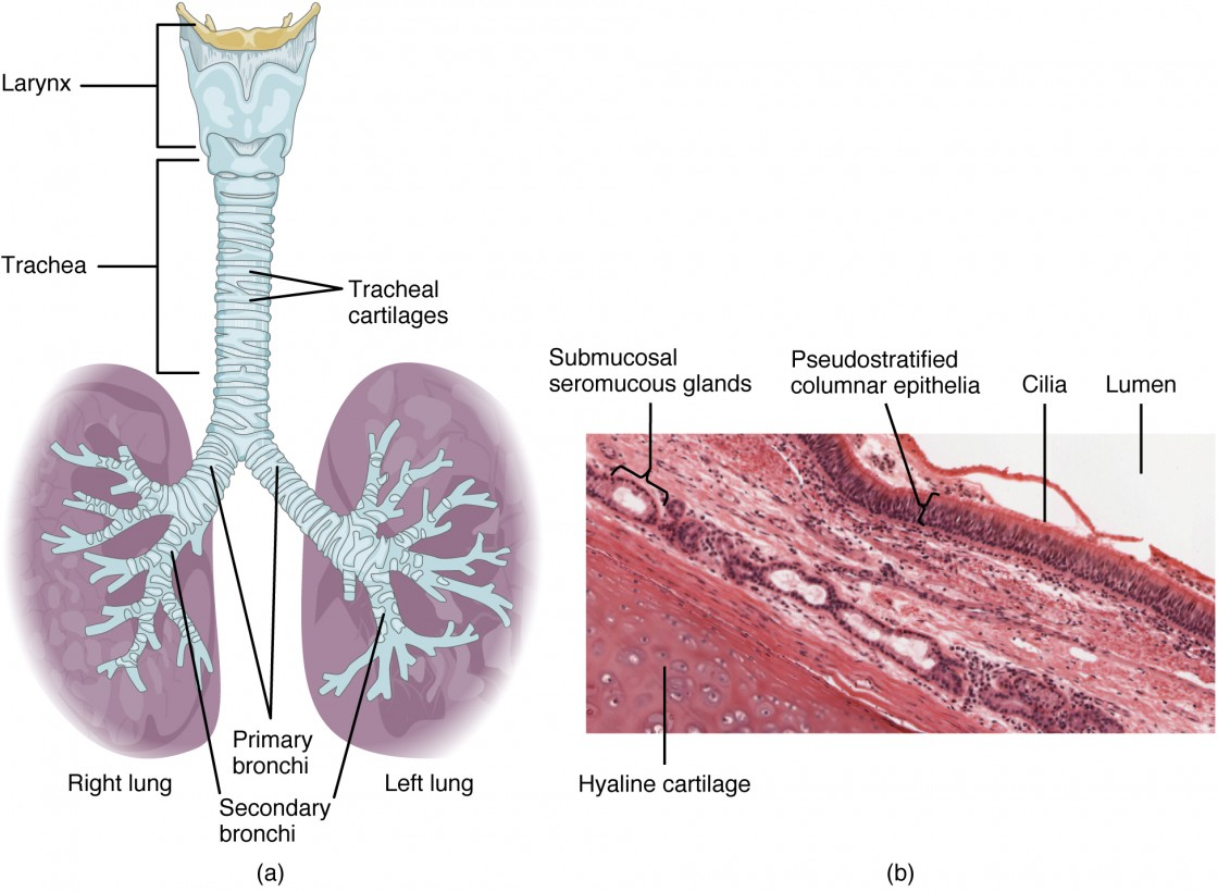 hight resolution of the top panel of this figure shows the trachea and its organs the major parts