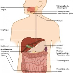 Horse Gi Diagram Nx Nitrous Wiring Overview Of The Digestive System Anatomy And Physiology Ii This Shows A Human Being With Major Organs Labeled
