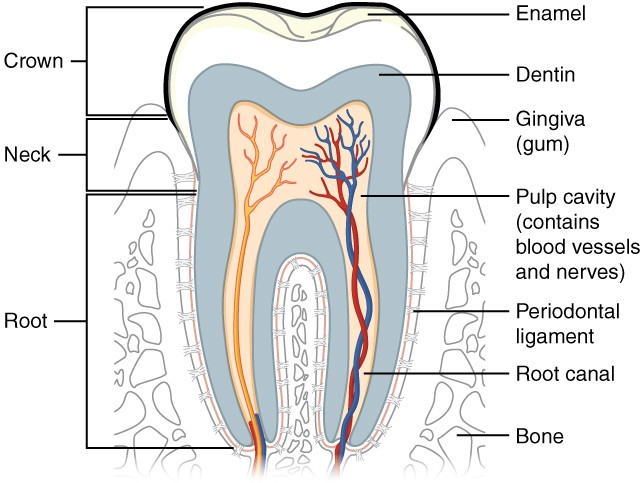 throat anatomy diagram parts of a light bulb the mouth pharynx and esophagus physiology ii this shows cross section human tooth elucidating its structure