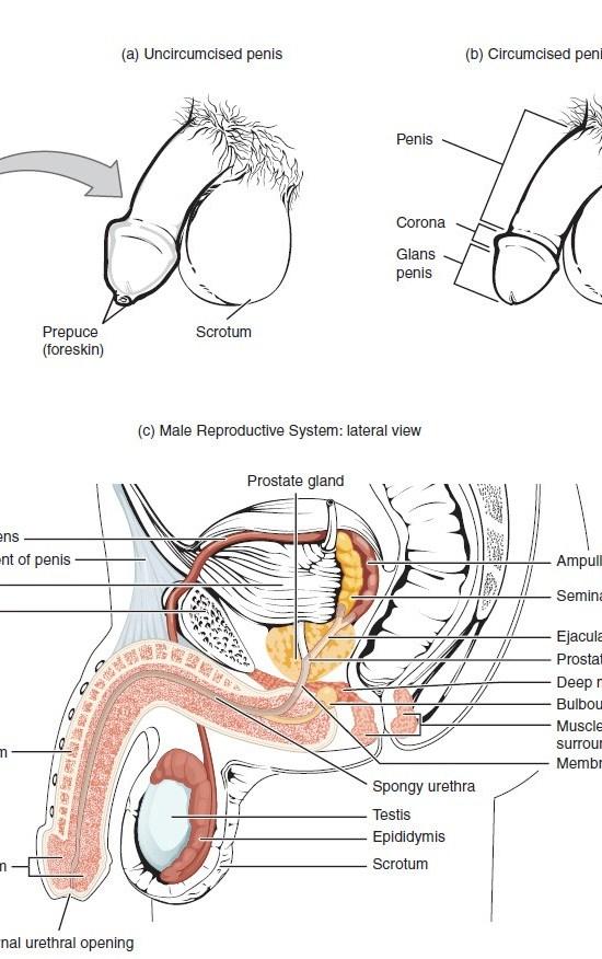 Sistema Reproductivo Funciones | ⊛ 【 Educándose En Línea 】
