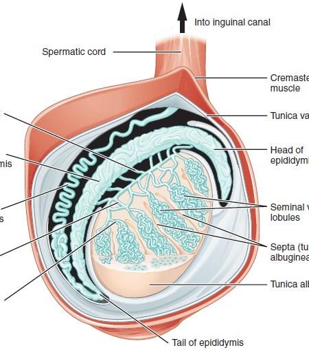 Figure 28 01 03 - Sistema Reproductivo Funciones