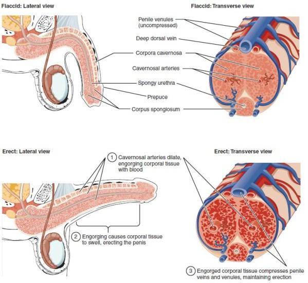 Figure 28 01 06 - Sistema Reproductivo Funciones