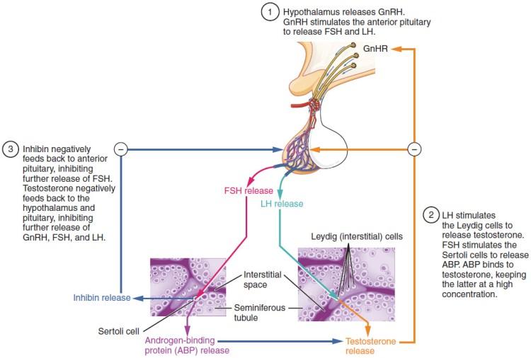 Figure 28 01 07 - Sistema Reproductivo Funciones