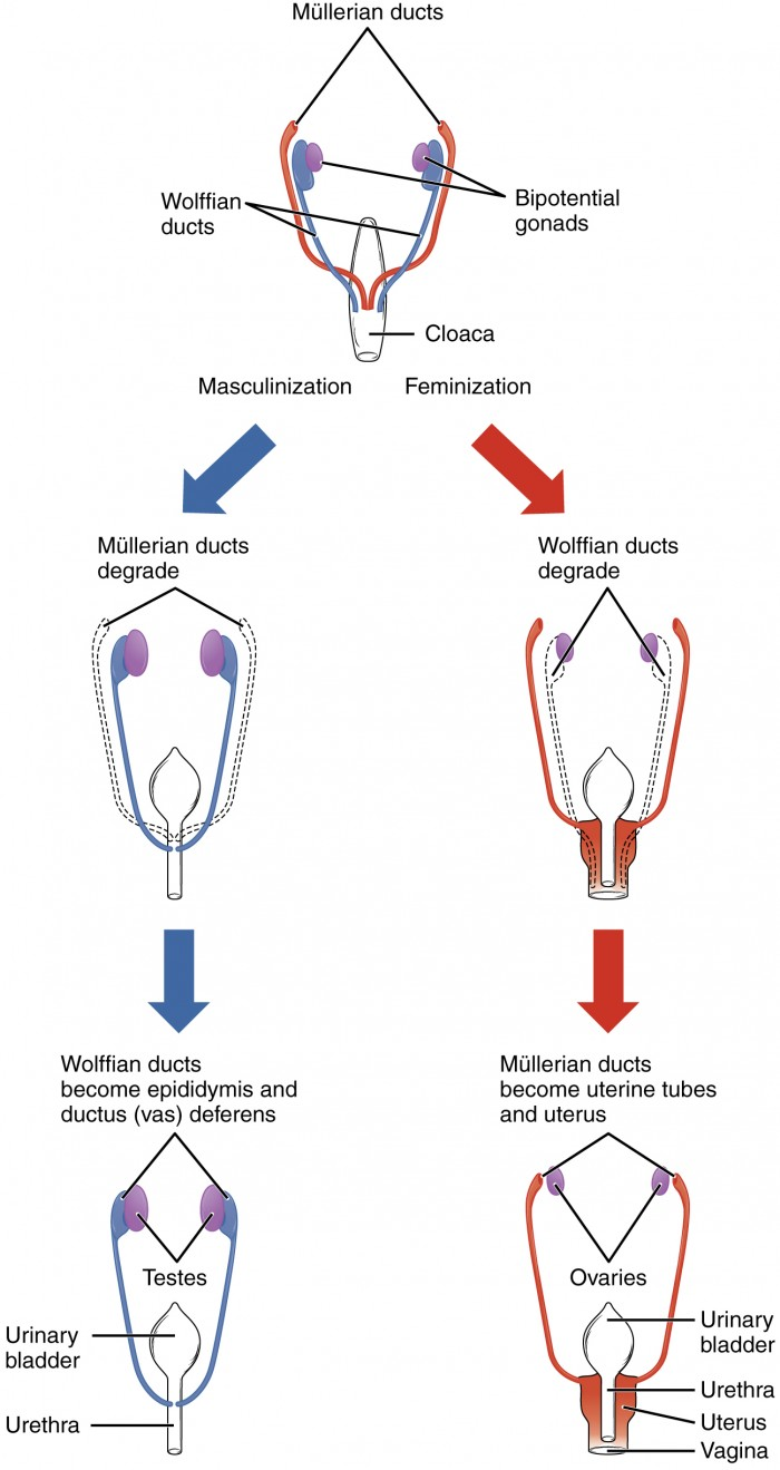 medium resolution of this flow chart shows how the sexual organs develop in embryos the left side of