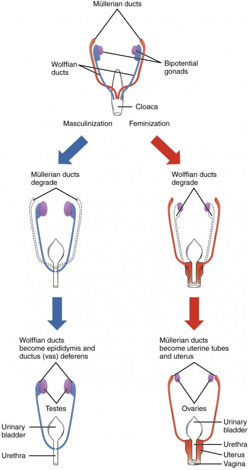 small resolution of this flow chart shows how the sexual organs develop in embryos the left side of
