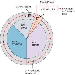 Animal Cell Diagram With Chromosomes Honda Gl1800 Wiring Mitosis And The Cycle | Biology I Laboratory Manual