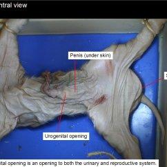 External Fetal Pig Muscle Diagram Cat 5 Wiring Plug Reading Dissection Biology Ii Laboratory Manual Figure 4 Male Urogenital Opening Penis Anus