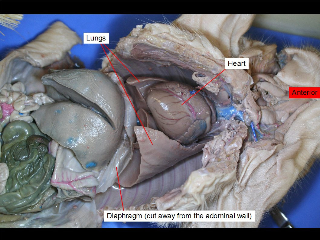 hight resolution of lungs heart and diaphragm labelled