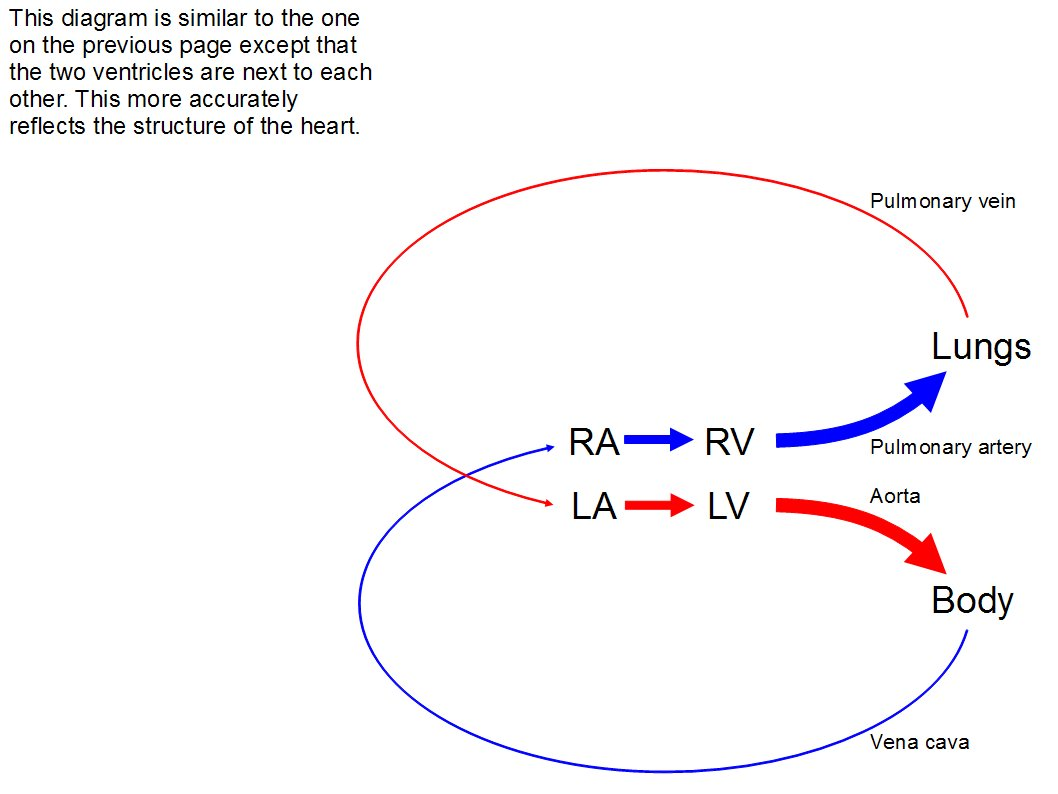 hight resolution of another diagram very similar to the one just before however the two ventricles