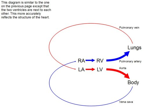 small resolution of another diagram very similar to the one just before however the two ventricles