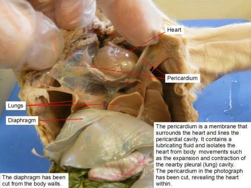 small resolution of the diaphragm has been cut from the body walls the pericardium is a membrane that