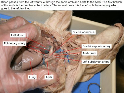 small resolution of blood passes from the left ventricle through the aortic arch and aorta to the body