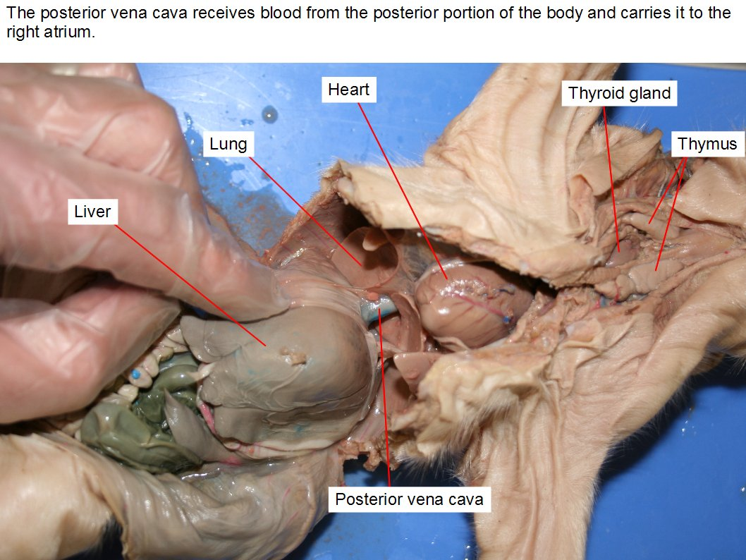hight resolution of the posterior vena cava receives blood from the posterior portion of the body and carries it