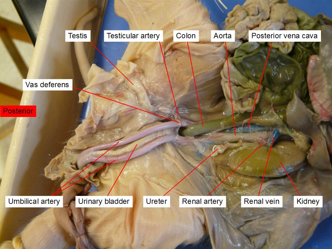 pig external anatomy diagram battery wiring for rv reading fetal dissection biology ii laboratory manual