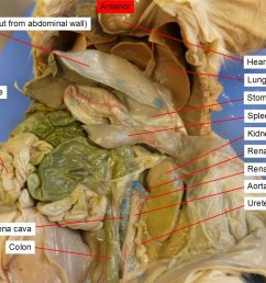 42 aorta colon large intestine diaphragm heart kidney  [ 1058 x 794 Pixel ]